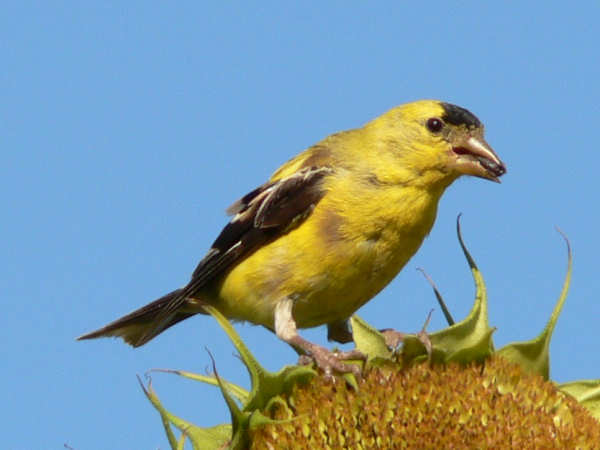 picture of a male American Goldfinch eating a sunflower seed