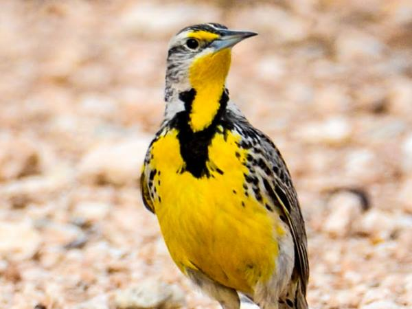 picture of a Meadowlark, part of the blackbirds and grackles series