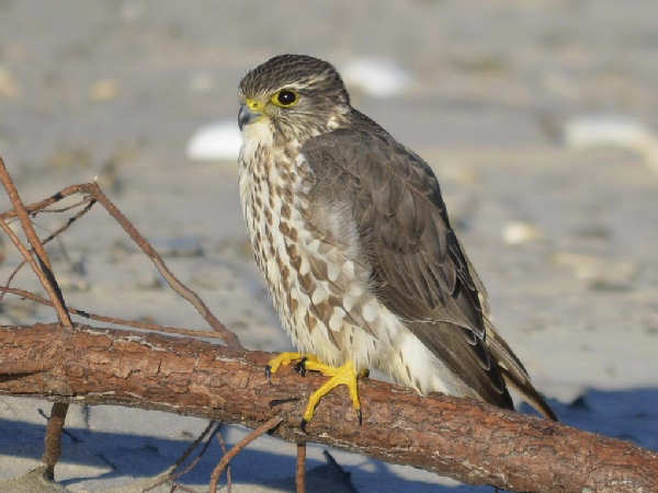 picture of a Merlin at the beach