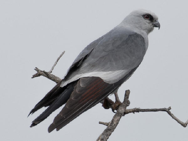 picture of a Mississippi Kite, types of hawks