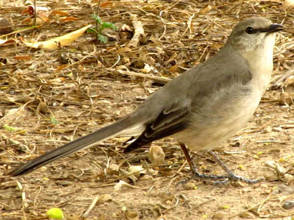 picture of a northern mockingbird