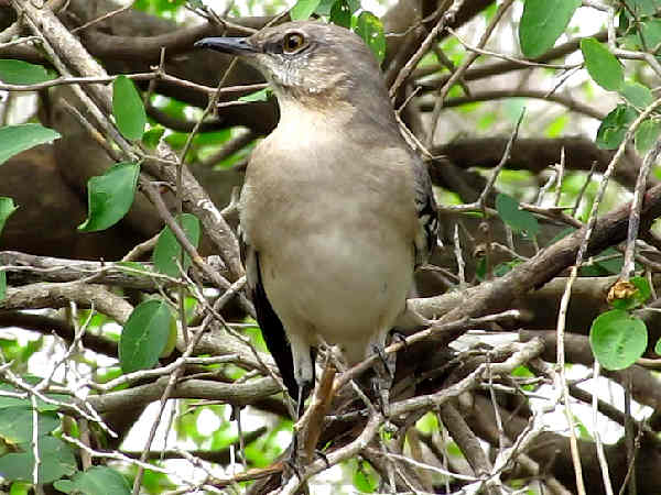 picture of a Mockingbird, the state bird of Mississippi, and part of the Mississippi birds section