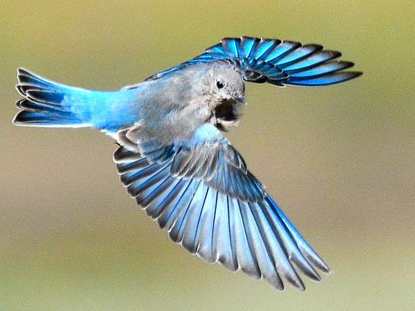 picture of a Mountain Bluebird, credit Larry Lamsa, Flickr, bird identification New Mexico