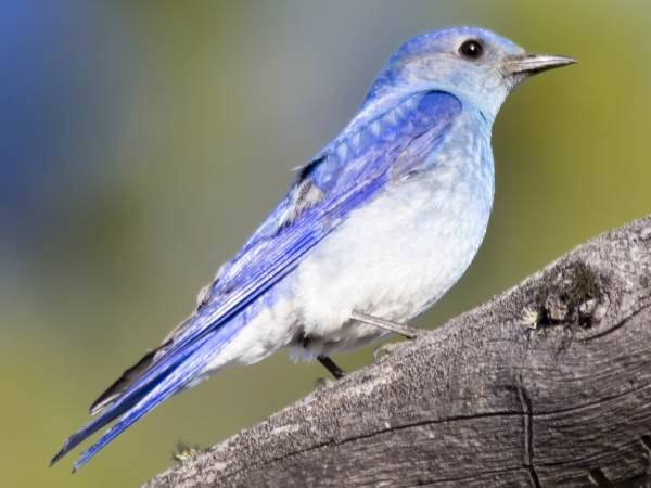 picture of a Mountain Bluebird state bird of Nevada