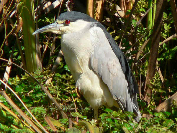 picture of a night heron