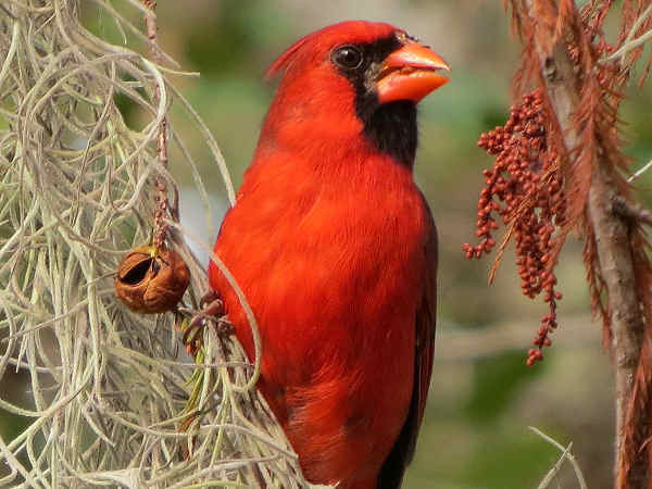 picture of a male Northern Cardinal, the state bird of Illinois, and part of the Illinois birds section