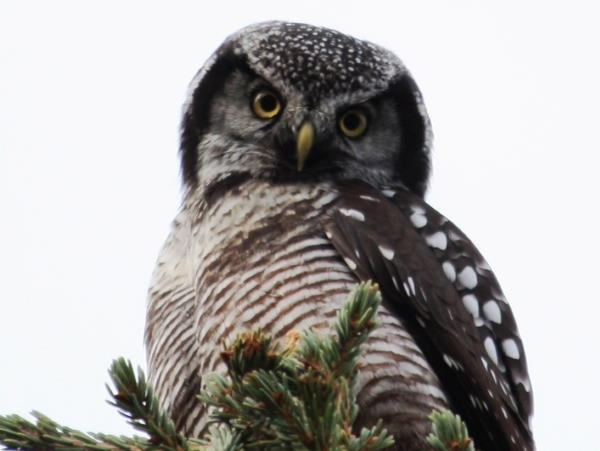 picture of a Northern Hawk Owl, part of the Owl pictures and identification guide