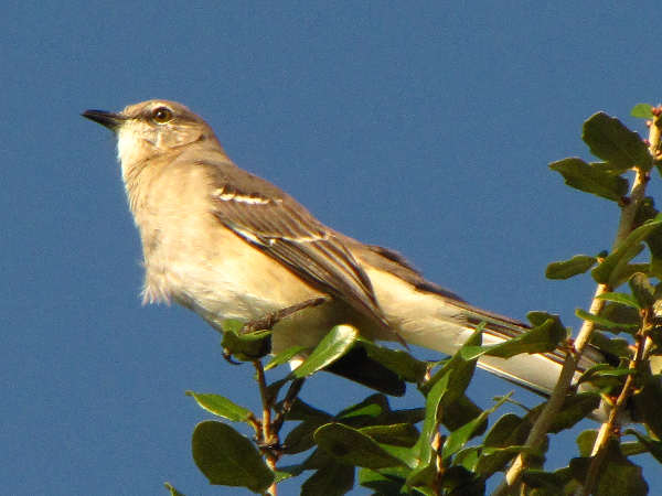 picture of a Northern Mockingbird, the state bird of Tennessee, and part of the Tennessee birds series