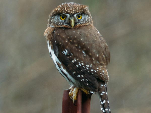 picture of a Northern Pygmy Owl, Owl pictures