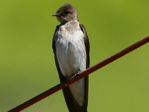 picture of a Northern Rough-winged Swallow