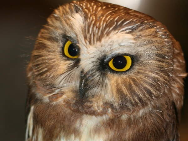 picture of a Northern Saw-whet Owl