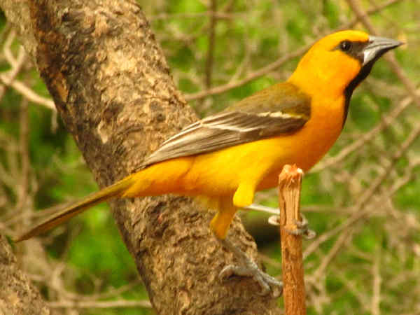 picture of an oriole bird