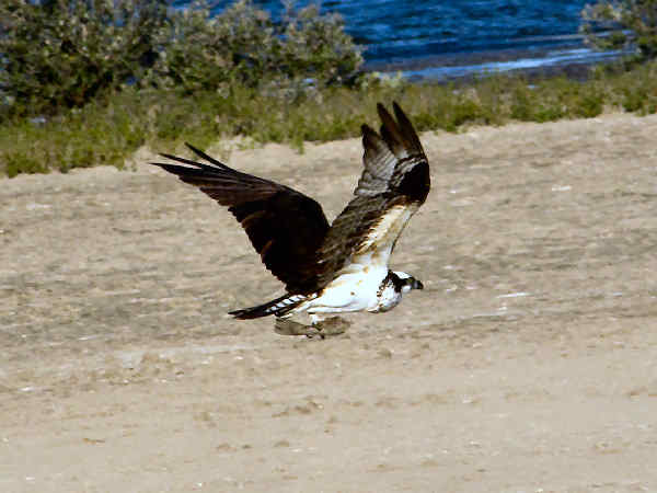 picture of an osprey flying with a fish in its talons