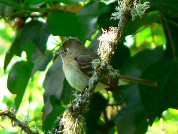 picture of a Pacific Slope Flycatcher