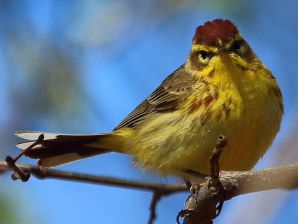picture of a Palm Warbler, part of the New York birds collection