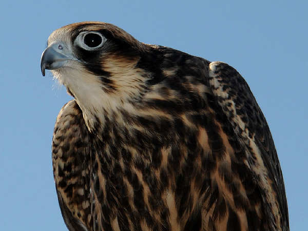 picture of a Peregrine Falcon, types of hawks series