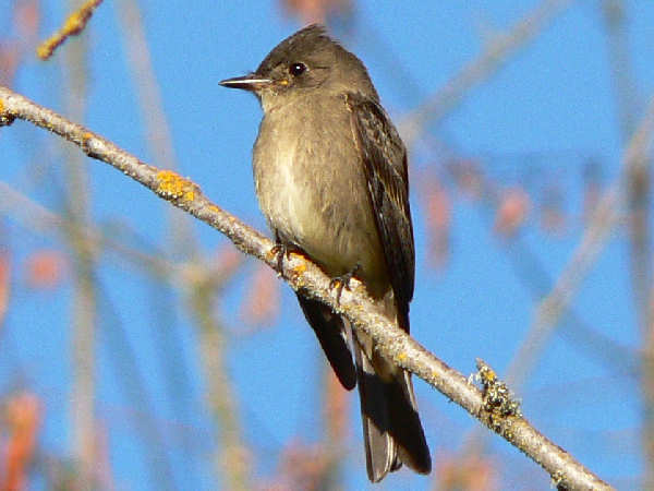 picture of a Western Wood-Pewee for flycatcher identification help