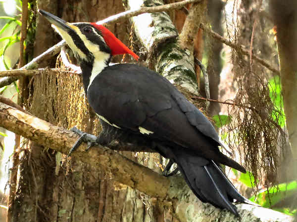 picture of a Pileated Woodpecker, one of a handful of Kentucky woodpeckers