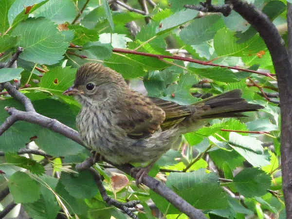 picture of a Pine Siskin
