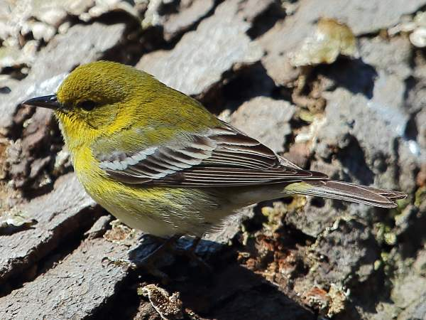 picture of a Pine Warbler during the spring migration at Prospect Park, Brooklyn