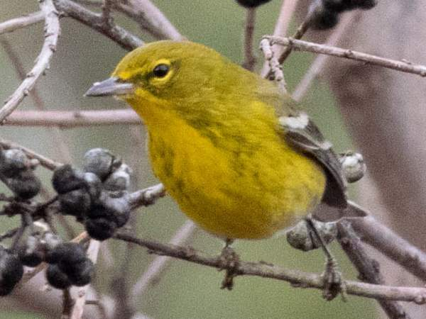 picture of a Pine Warbler