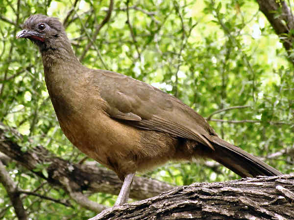 picture of a plain chachalaca