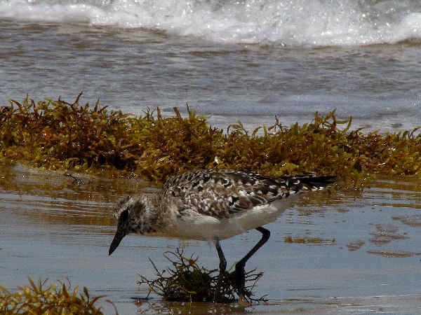 picture of a Golden plover along the Texas beach