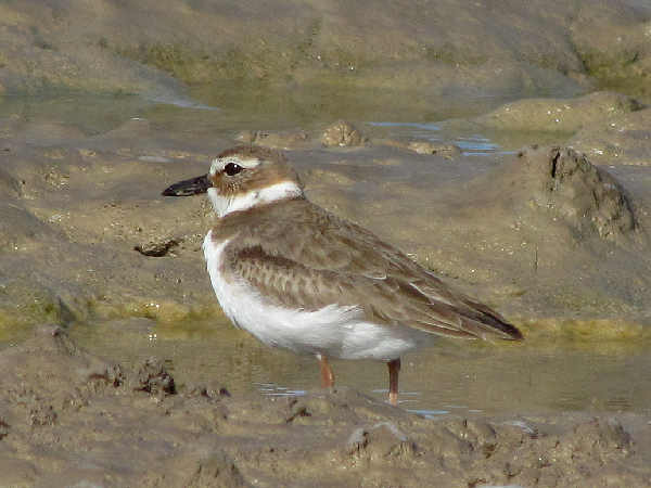 picture of a Piping Plover or a Black-bellied Plover