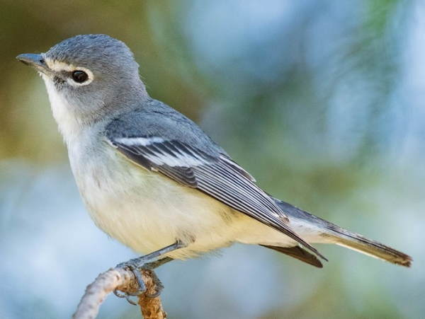 picture of a Plumbeous Vireo