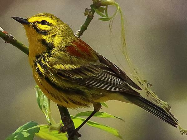 picture of a Prairie Warbler in Prospect Park during spring migration
