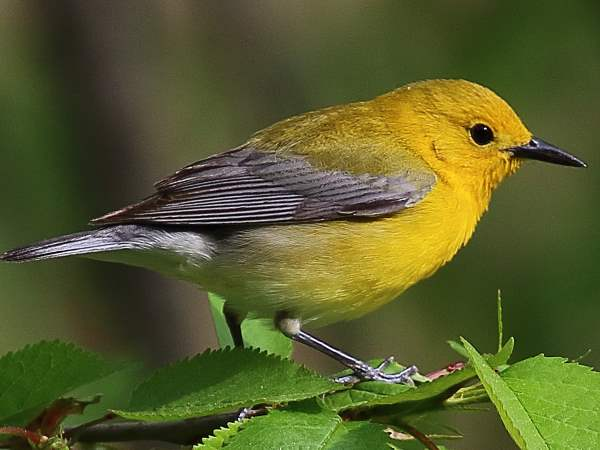 picture of a Prothonotary Warbler, part of the New York birds spring migration collection