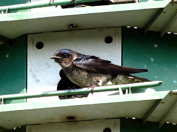 picture of a purple martin and a nest box