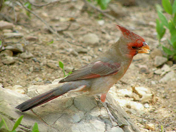 picture of a Pyrrhuloxia