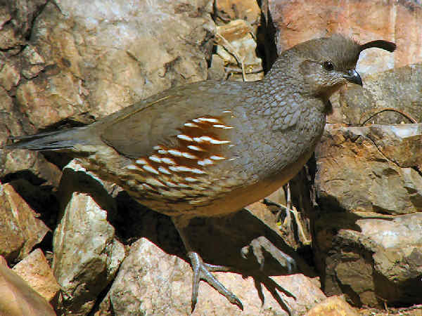 picture of a female Gambel's Quail