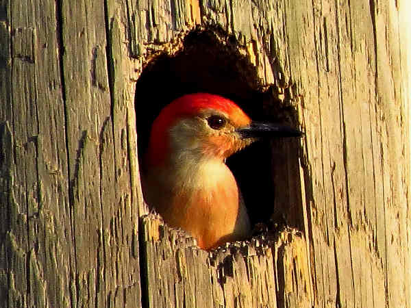 picture of a red-bellied woodpecker in a tree cavity