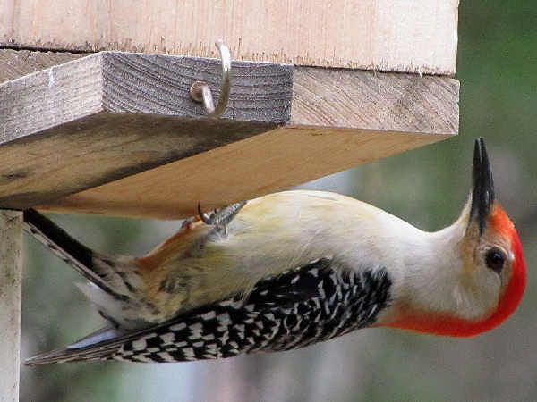 picture of a red-bellied woodpecker, one of the common Wisconsin woodpeckers