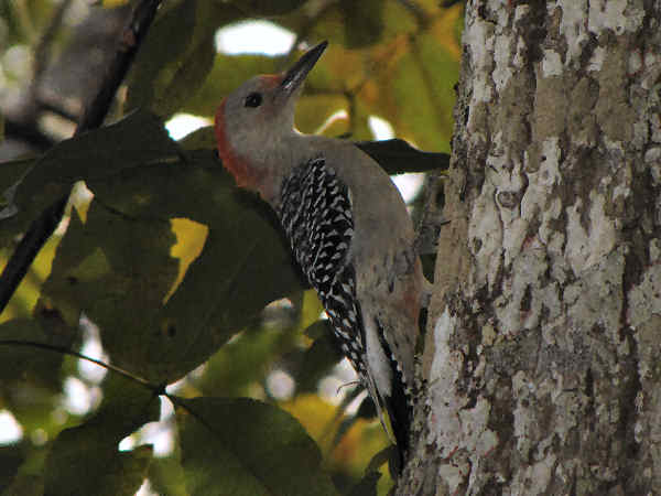 picture of a red-bellied woodpecker