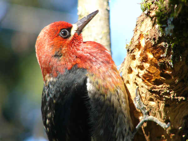 picture of a red-breasted sapsucker