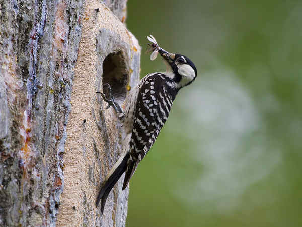 picture of a Red-Cockaded Woodpecker