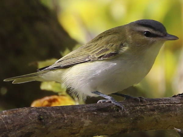 picture of a Red-eyed Vireo