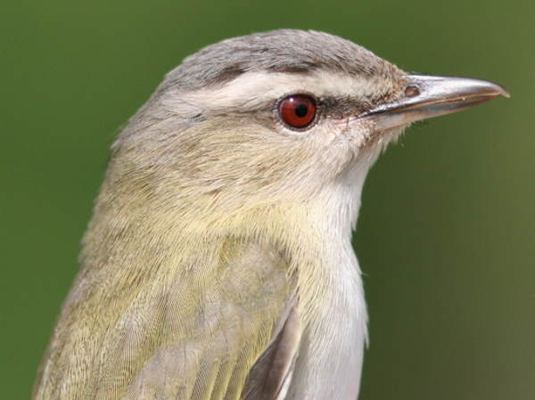 close up view of the eyes of a Red-eyed Vireo