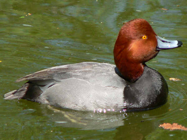 picture of a red head duck