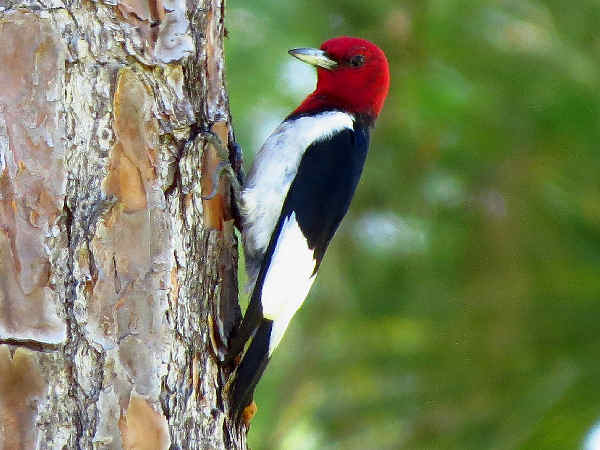 picture of Red-headed Woodpecker