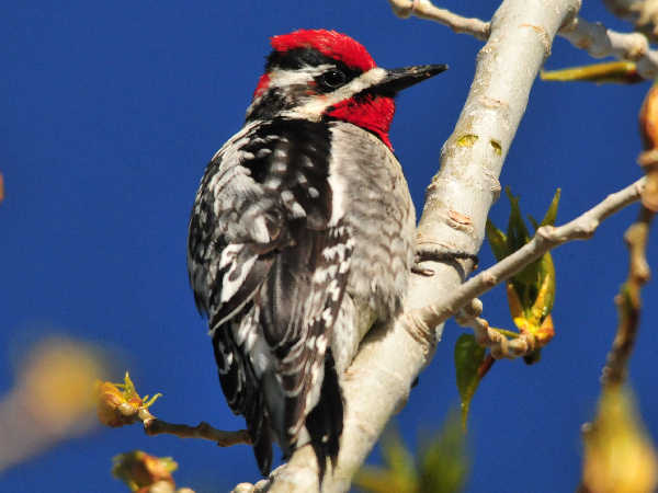 picture of a red-naped sapsucker, part of the Idaho woodpeckers collection