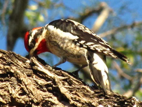 picture of a red-naped sapsucker, part of the Washington Woodpeckers series