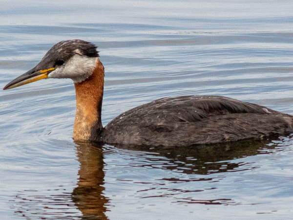 picture of a Red-necked grebe