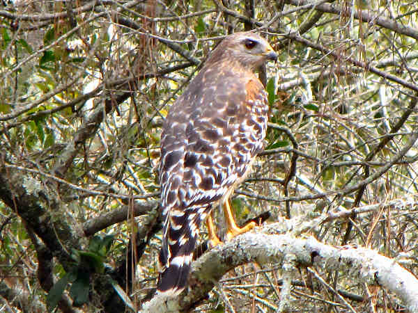 picture of a red-shouldered hawk, hawk identification