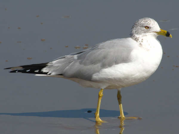 picture of a Ring-billed Gull