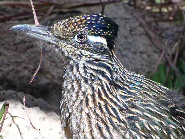 picture of a Roadrunner, the state bird of New Mexico, and part of the New Mexico birds series