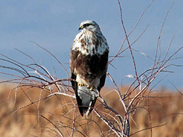 picture of a Rough-legged Hawk, types of hawks
